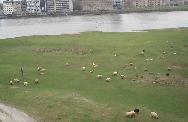 Sheep mowing the lawn